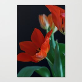 Close up of Crimson Red Tulip on Black Background Canvas Print