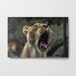 Yawning Female Lion Metal Print