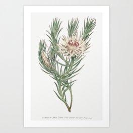 Protea Mucronifolia (Dagger-Leaf Protea) (1806) Image from The Botanical Magazine or Flower Garden D Art Print