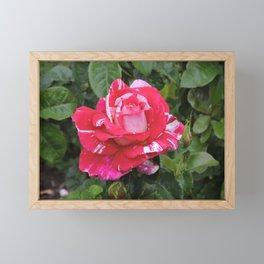 """A Rose Named """"Neil Diamond"""" Framed Mini Art Print"""