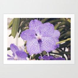 Purple Phalaenopsis Orchid Art Print