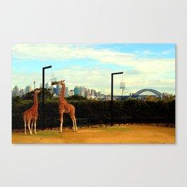 Taronga Zoo Giraffes  Canvas Print