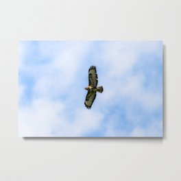 Buzzard Flying Metal Print