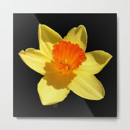 Spring Daffodil Isolated On Black Metal Print
