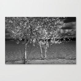Lake Shore Birch Trees in Black & White Canvas Print