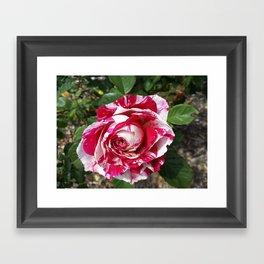 A Red and White Rose Framed Art Print