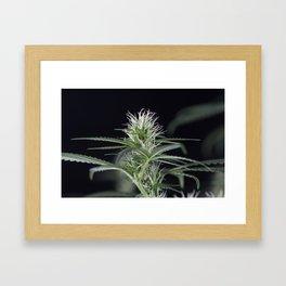 Cannabis Marijuana Flower Early Stage Framed Art Print