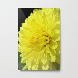 Glowing Yellow Dahlia Metal Print