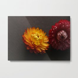 Vibrant Decorative Everlasting Strawflowers Metal Print
