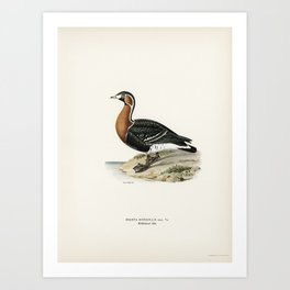 Red-breasted Goose (Branta ruficollis) illustrated by the von Wright brothers. Art Print