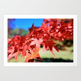 Japanese Maple Leaves 2 Art Print