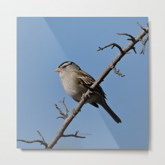 A White-Crowned Sparrow Eyes the Botanic Garden Metal Print