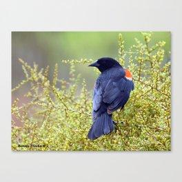 Tijuana Slough Male Redwing Blackbird Canvas Print
