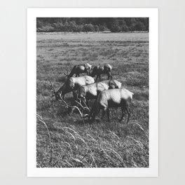 Grazing Elk Art Print