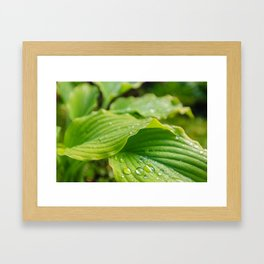 Hosta Leaves. Raindrops Framed Art Print