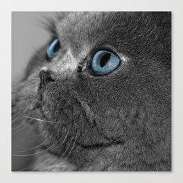 Grey Persian Cat with Blue Eyes Canvas Print