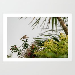 Flying Sparrow Bird female caught in motion flying Art Print