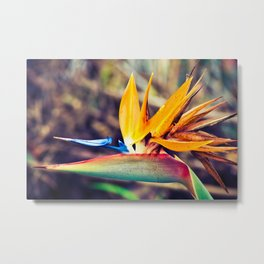 Bird of paradise flower, traditional one of Madeira island, Portugal Metal Print