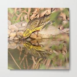 Yellow bird drinking water Metal Print