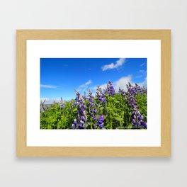 Summer Lupine in Iceland Framed Art Print
