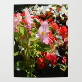 Bouquet of Begonias.... Poster
