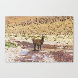 Llama Crossing in Bolivia Canvas Print