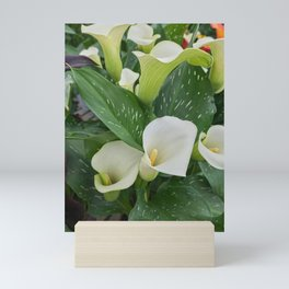 white pink colored calla lily in the garden Mini Art Print