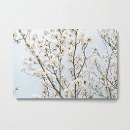 Flowering Springtime Hawthorn tree. Metal Print