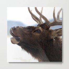 Watercolor Elk Bull 57, Estes Park, Colorado, Bugler Metal Print