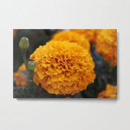 Flor de Cempasuchil Metal Print