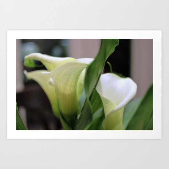 White calla lillies Art Print