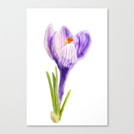 Delicate spring flower of crocus Canvas Print