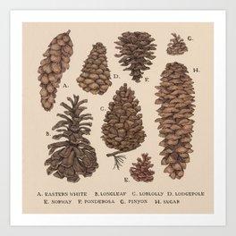 Pinecones Kunstdrucke