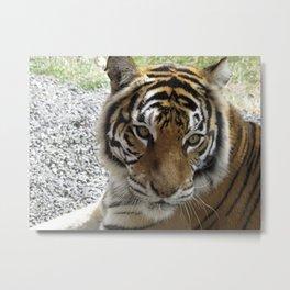 Nice Kitty - Tiger Metal Print