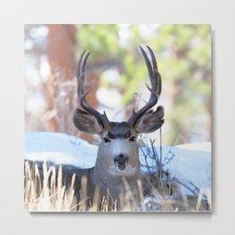 Watercolor Deer, Mule 13, RMNP, Colorado, Buuuuurp Metal Print