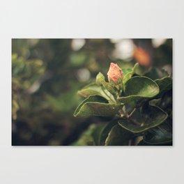 Capullo de Hibisco - Hibiscus bud Canvas Print