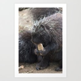 Baby Porcupine eating a biscuit  Art Print