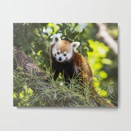 Red Panda in Tree Metal Print