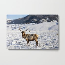 Elk at the US Fish  Wildlife Services elk refuge in Jackson Hole Wyoming a valley on the edge of Gra Metal Print