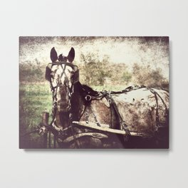 Appaloosa in Harness Metal Print