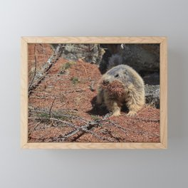Alpine Marmot (Marmota marmota) carrying brown pine needles in its mouth. Framed Mini Art Print