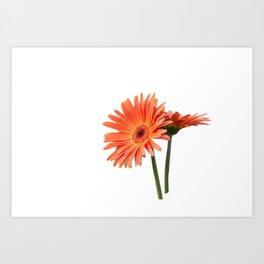 isolated gerbera daisy in the vase Art Print