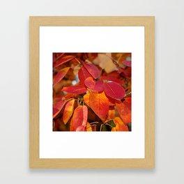 Autumn Glory - Juneberry leaves, Amelanchier Framed Art Print