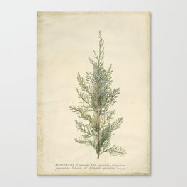 Vintage Botanical Juniper Branch Canvas Print