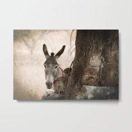 The curios donkey Metal Print