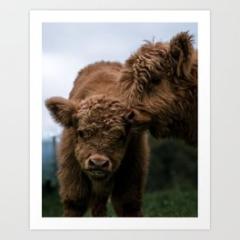 Scottish Highland Cattle Calves - Babies playing Art Print