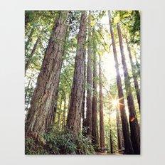 Sunlight Through Redwoods Canvas Print