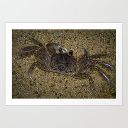Atlantic Ghost Crab Art Print