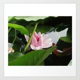 Beautiful White Pink Lotus Art Print