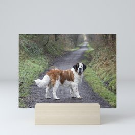 St Bernard dog in Autumn woodland walk Mini Art Print
